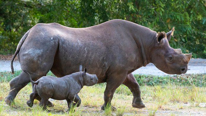 ESPECIAL. Fotografía cedida por el zoológico de Miami donde aparece el rinoceronte negro macho nacido el pasado 24 de febrero.