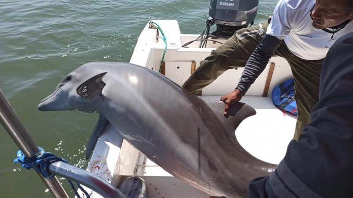 Delfín nariz de botella que estaba atrapado en redes de pesca y fue liberado por guardaparques de Guayas (Ecuador). (Foto Ministerio de Ambiente y Agua)