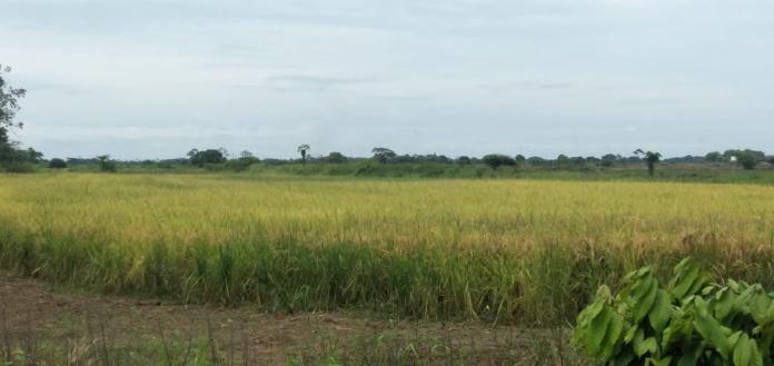 foto arroz