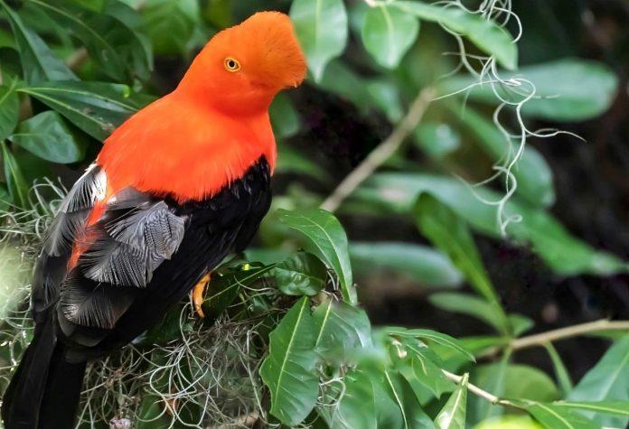 Especies. El pájaro de la peña es una de las especies que se encuentra en Imbabura, en la zona de Intag. (Foto: Luis Calapi)