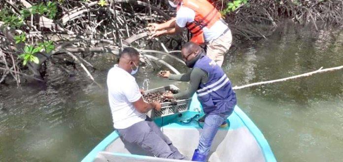1.200 conchas regresaron al manglar