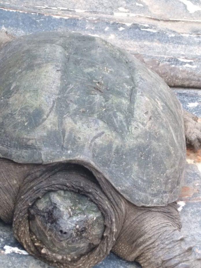 Policía rescata tortugaña