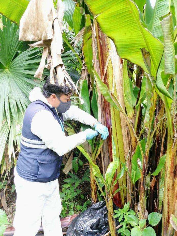Inspección. Personal de Agrocalidad, realiza constantes controles en plantaciones de la zona.